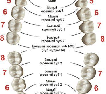 Сколько зубов у человека?